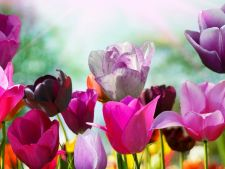5 curiosity about  , flowers tulips start of spring