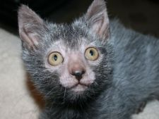 Lykoi, pisica-varcolac care se comporta ca un caine