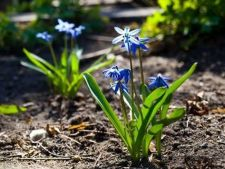 Tips for the plant bulbs spring