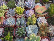 Succulent plants  , ideal in Garden of  : all summer what are you know about it