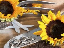 Simple tricks, for the rapid and plant fair sunflower