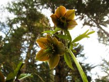 5 great of variety   on which hellebores to the increase in your garden