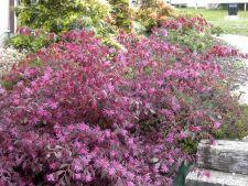A Bush exotic for you: garden Loropetalum in flames!