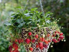 Cultiva capsune la tine acasa in cosulete suspendate. Iata cum!