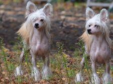 Rase ciudate, dar adorabile de caini. Tu pe care o preferi?