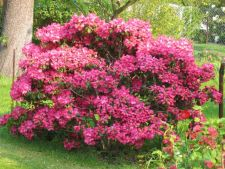 Evergreen bushes   with the flowers foliage beautiful for a garden spectacular all year