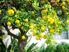 Sfaturi utile pentru a cultiva cu succes citrice in gradina ta