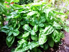 How to the Basil gigantic cultivate in your garden You have more of he heard  ?