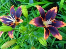 5 great of variety Lily the that you can cultivate and you in Garden