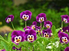 5 soiuri de flori mov sau lila care iti anima gradina