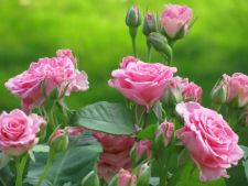 5 tips for care fix rose of the garden