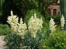 Yucca, a plant for the people Learn sensitive. how to a care correctly