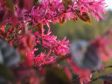 Loropetalum, un arbust cu un colorit incredibil pentru gradina ta