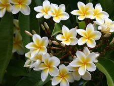 Learn sa cultivate magnificent Frangipani