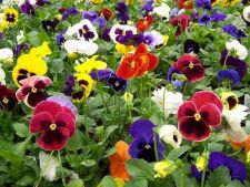 Cultiva flori comestibile. Iata  ce sa plantezi!