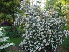 Calinul, a Bush stylish for any garden