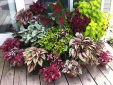 Begonia, the what plant colour worth spoiled