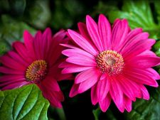 Gerbera, a show in pot chromatic