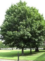Expertul Acasa.ro, Cristina Stinghe: Ce arbori de talie mare sa alegi pentru gradina ta