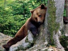 Ursi betivi din Rusia, adusi la dezalcoolizare in Romania