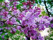 3 arbusti parfumati pe care trebuie sa ii ai in gradina