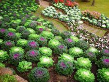 Da culoare gradinii tale: cultiva varza decorativa!