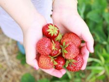 6 trucuri pentru cultivarea celor mai gustoase capsune