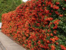Cum sa amenajezi un gard viu din plante comestibile