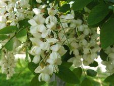 Afla ce boli poti trata cu ajutorul florilor de salcam
