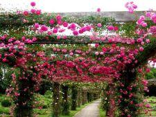 Cum sa alegi cei mai frumosi trandafiri cataratori pentru gradina