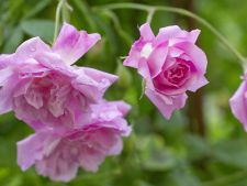 How to the most ones grow beautiful roses 5 secrets of the  ! experts