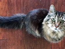 Cea mai batrana pisica din lume. Cum arata Corduroy la 26 de ani