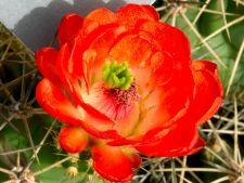 3 cactusi cu flori superbe, pe care ii poti creste in casa