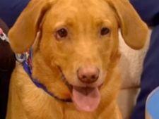 Labradorul care a depistat cancerul stapanei inaintea medicilor