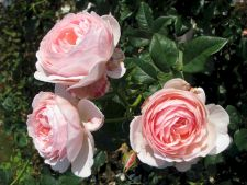 Top 3 roses fragrant   that the   any gardener should be to have