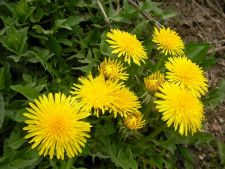 5 plante din gradina despre care nu stiai ca sunt benefice sanatatii