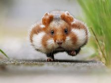 Hamsterii, cele mai simpatice animale de companie? Galeria foto care iti va insenina ziua!