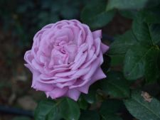 Expertul Acasa.ro, Alina Buha: Cum pregatim corect trandafirii de gradina pentru sezonul rece
