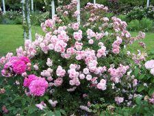 Expertul Acasa.ro, Alina Buhna: 3 trandafiri care nu trebuie sa-ti lipseasca din gradina