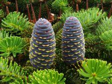 3 arbori coniferi perfecti pentru gradina de iarna