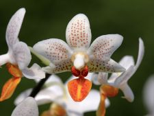 How to the to stimulate flowering Orchid