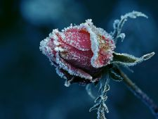How to protect roses from garden of ice