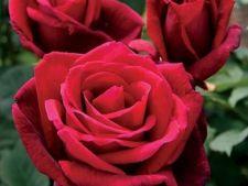 Expertul Acasa.ro, Alina Buhna: 3 soiuri de trandafiri neobisnuiti
