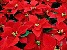 How to care for   correct Poinsettia or Caswell