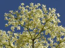 Dictionar de plante: Socul elimina toxinele
