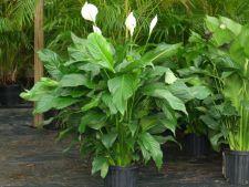 3 plante superbe, dar otravitoare! Si tu le ai in casa