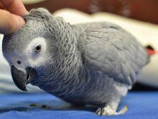 De ce vorbesc papagalii! Misterul a fost descoperit