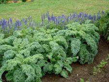 Cum sa cultivi varza Kale in gradina