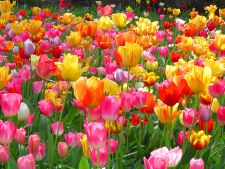 5 species amazing of the that tulips you like to le ai in Garden