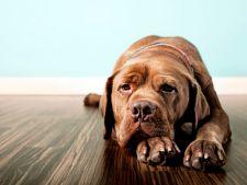 Unul din patru caini sufera de depresie! Ce se intampla cand sunt lasati singuri acasa